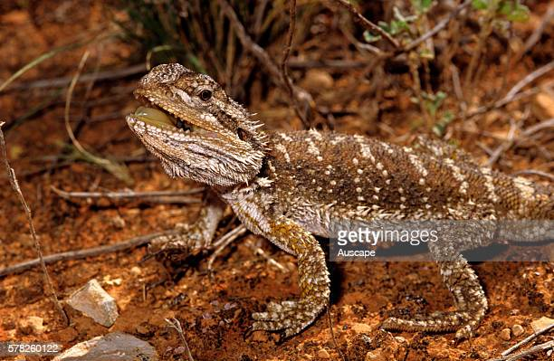 Nullarbor bearded dragon Pogona nullarbor uncommon species Rawlinna Western Australia Australia