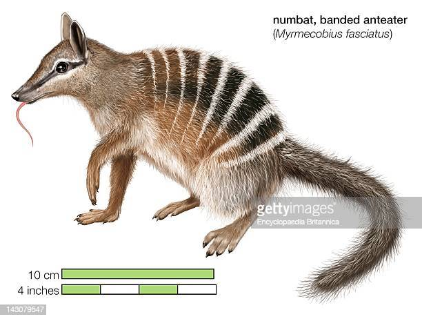 Numbat Or Banded Anteater