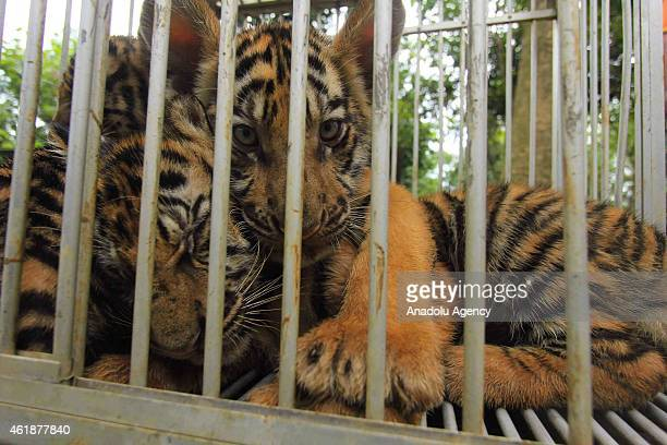 A number of Bengal Tiger Cub was in the cage after the injection of rabies vaccine at Mangkang zoo in Semarang Central Java Indonesia on January 21...
