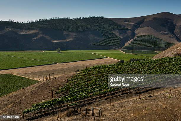 A number of grape vineyards near Au Bon Climat winery off Tepusquet Ranch Road are viewed on August 11 near Santa Maria California Because of its...