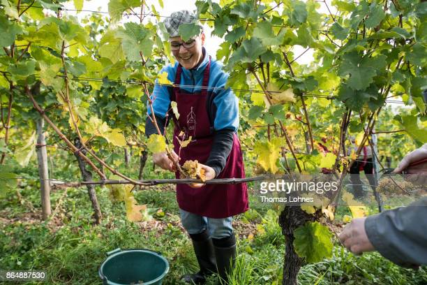 Nun Placida of St Hildegard Abbey and a Vietnamese brother of the Cau Son Abbey harvest grapes for their annual vintage on October 04 2017 near...
