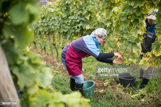 Nun Placida of St Hildegard Abbey and a Vietnamese brother of the Chau Son Abbey harvest grapes for their annual vintage on October 04 2017 near...