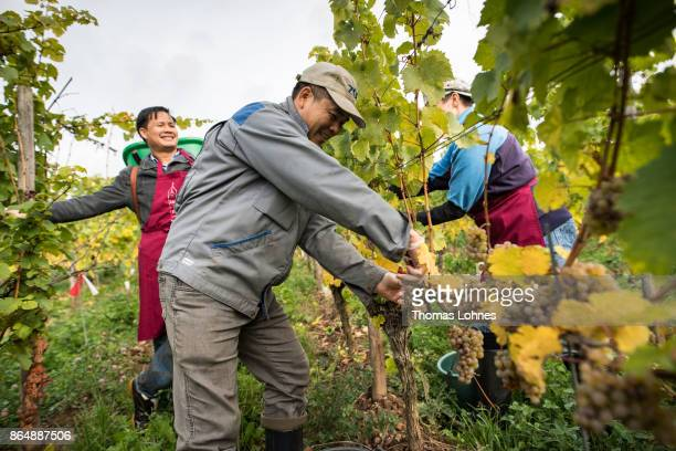 Nun Placida of St Hildegard Abbey and two Vietnamese brothers of the Cau Son Abbey harvest grapes for their annual vintage on October 04 2017 near...