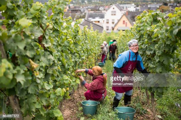 Nun Placida of St Hildegard Abbey and volunteers harvest grapes for their annual vintage on October 04 2017 near Rudesheim on the Rhine Germany The...