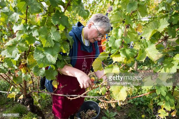 Nun Thekla of St Hildegard Abbey and volunteers harvest grapes for their annual vintage on October 04 2017 near Rudesheim on the Rhine Germany The St...