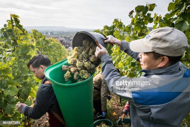 Nuns of St Hildegard Abbey and two Vietnamese brother of the Cau Son Abbey harvest grapes for their annual vintage on October 04 2017 near Rudesheim...