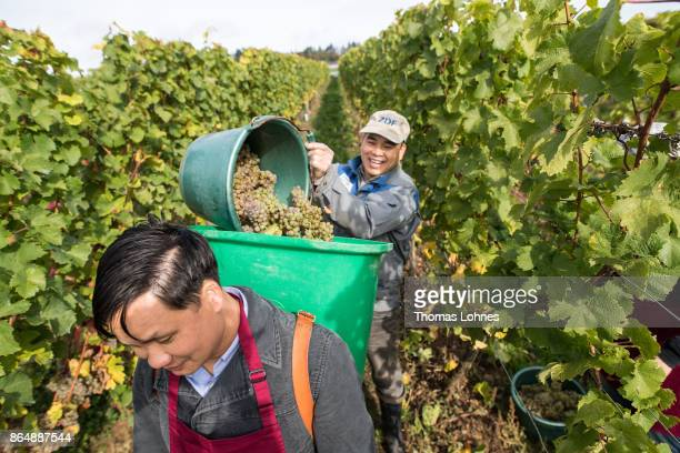 Nuns of St Hildegard Abbey and two Vietnamese brother of the Chau Son Abbey harvest grapes for their annual vintage on October 04 2017 near Rudesheim...