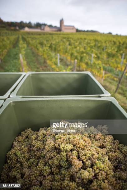 Nuns of St Hildegard Abbey and volunteers harvest grapes for their annual vintage on October 04 2017 near Rudesheim on the Rhine Germany The St...