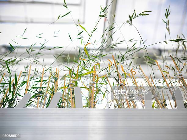 Nursery of biolab with Purple false brome (Brachypodium distachyon) grown for structural analysis of DNA, protein extraction and genetic modification