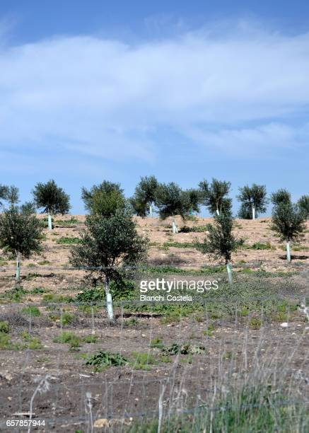 Nursery olive trees in the field