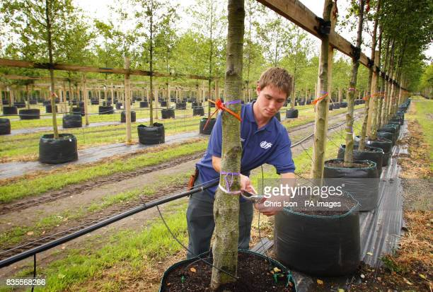 Nursery worker Jonathan Hodson tends to one of the 2000 trees at Hillier Nurseries near Romsey Hampshire which will form the Olympic Park in east...