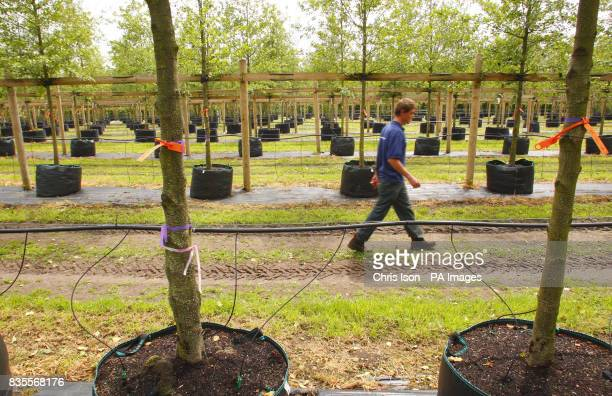 A nursery worker walks amongst some of the 2000 trees at Hillier Nurseries near Romsey Hampshire which will form the Olympic Park in Stratford east...