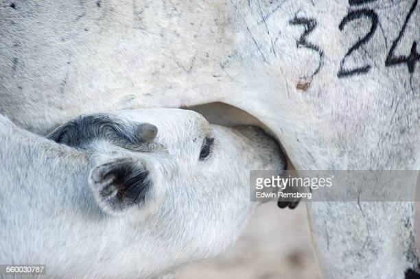 Nursing calf