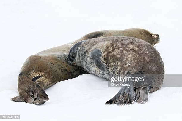 Nursing Weddell Seal