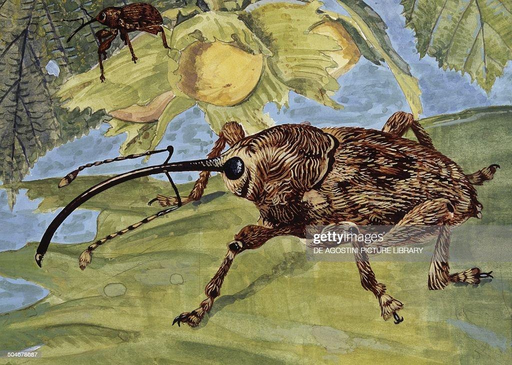 Nut Weevil Curculionidae drawing