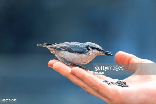 Nuthatch Bird eats seeds of sunflower on a human hand on blue sky