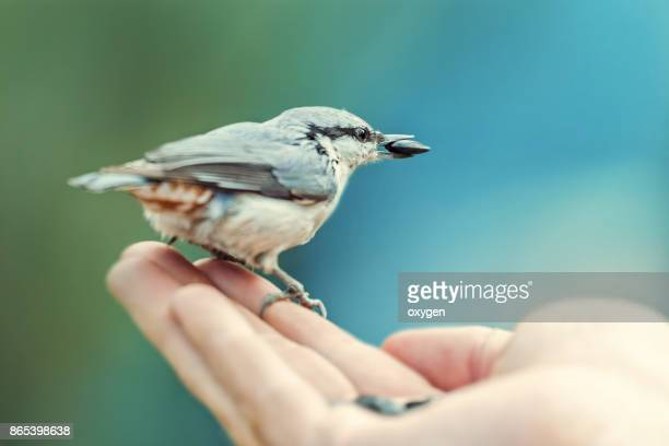 Nuthatch Bird eats seeds of sunflower on a human hand