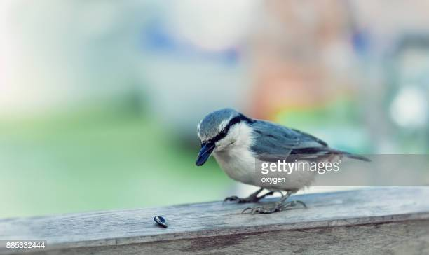 Nuthatch holds a sunflower seed in its beak