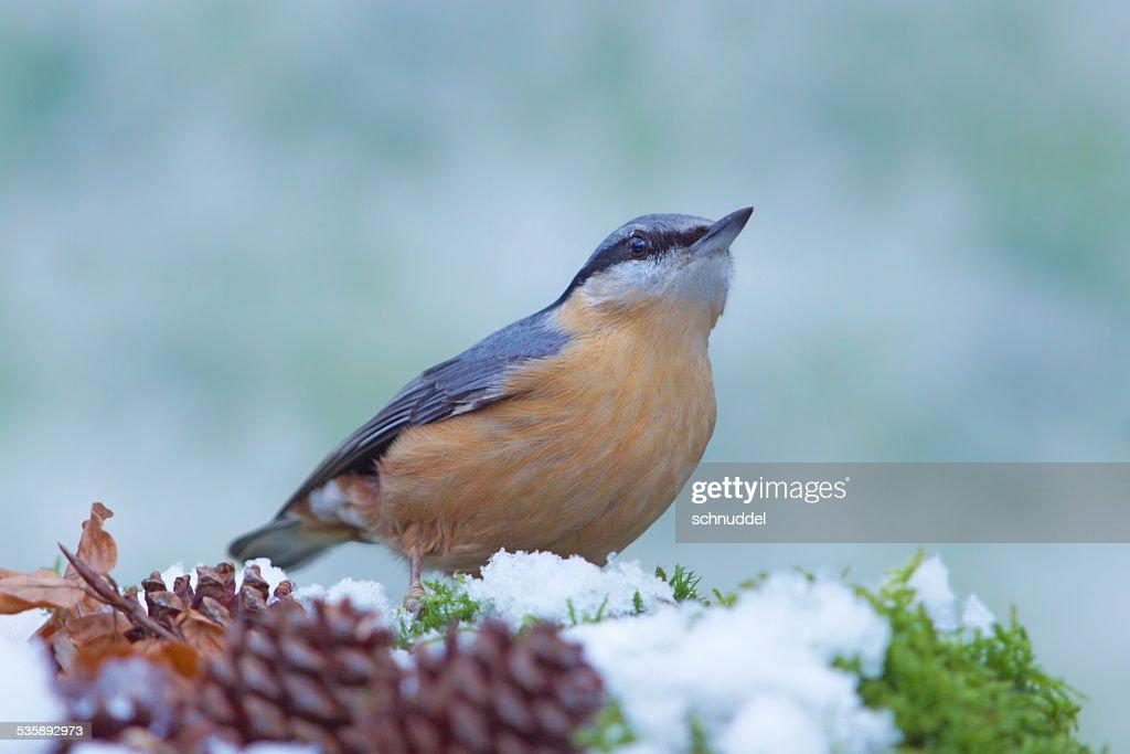 Nuthatch in wintertime : Bildbanksbilder