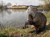 Nutria auch Biberratte oder seltener Sumpfbiber Schweifbiber Schweifratte Coypu oder Wasserratte genannt ist eine aus Südamerika stammende und in...