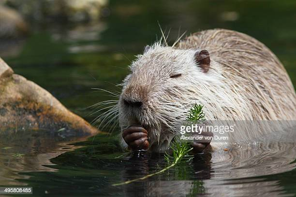 Nutria, Coypu or River Rat -Myocastor coypus-, Wiesbaden, Hesse, Germany