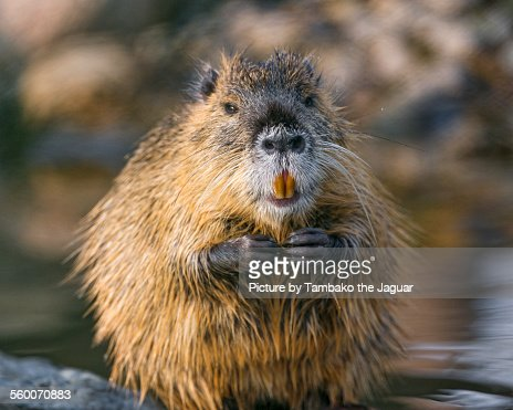 Nutria with hands joined : Stock Photo