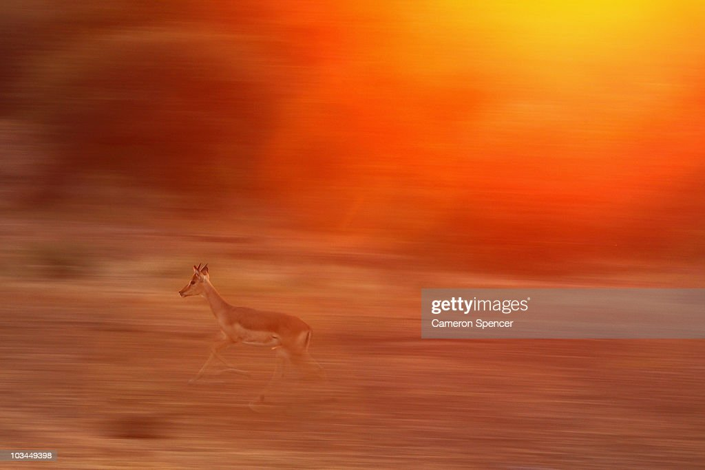 A nyala runs at the Mashatu game reserve on July 26, 2010 in Mapungubwe, Botswana. Mashatu is a 46,000 hectare reserve located in Eastern Botswana where the Shashe river and Limpopo river meet.