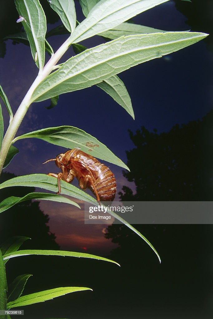 Nymph of cicada on leaf, close up : Stock Photo