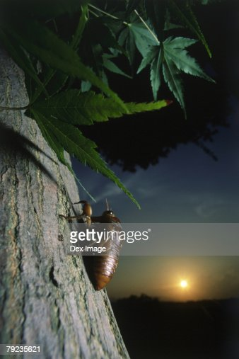 Nymph of cicada on tree trunk, close up : Stock Photo