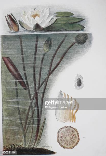 Nymphaea alba also known as the European white water lily historical illustration 1880