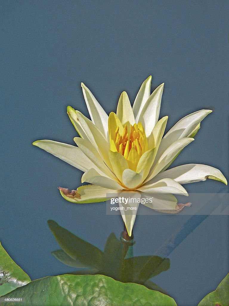 Nymphaea odorata, White Lotus, Water Lilly : Stock Photo