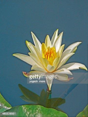 Nymphaea odorata, White Lotus, Water Lilly : Stock Photo