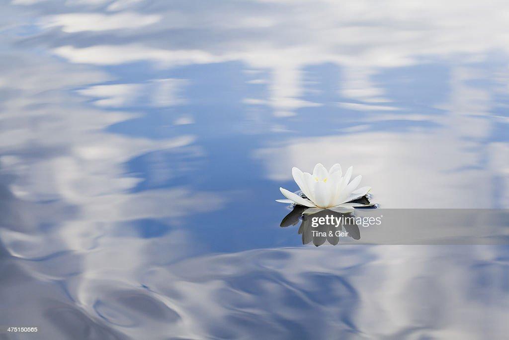 Nymphaea tetragona water lily on lake