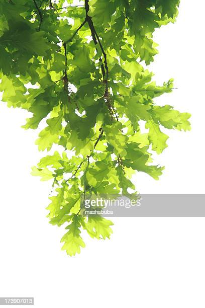 Oak branch with leaves hanging against a white background