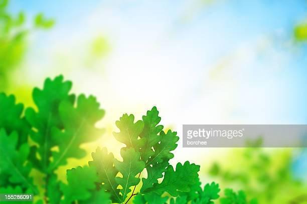 Oak Foliage