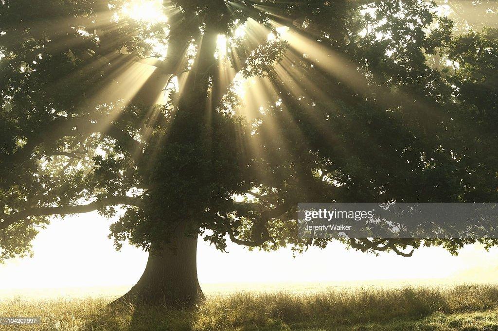 Oak in mist : Stock Photo