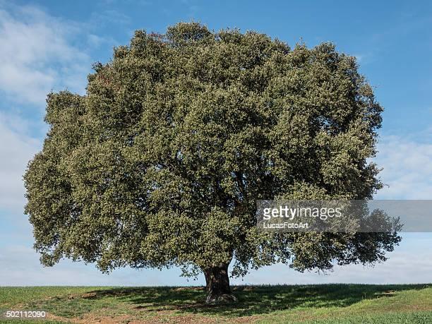 Oak landscape
