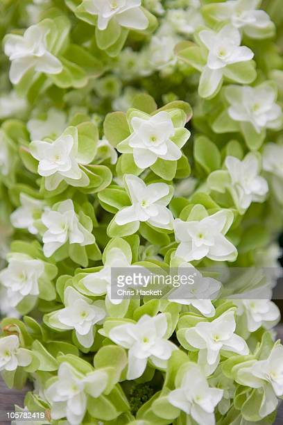 Oak leaf hydrangea flowers