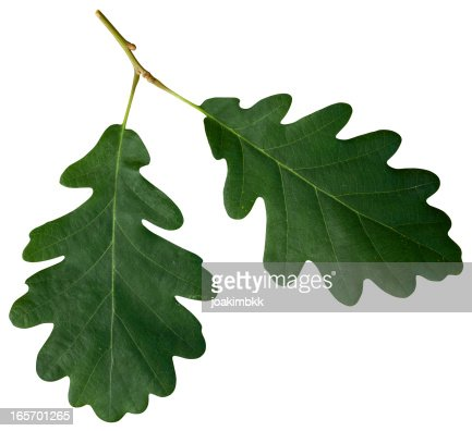 Oak leaf isolated on white with clipping path