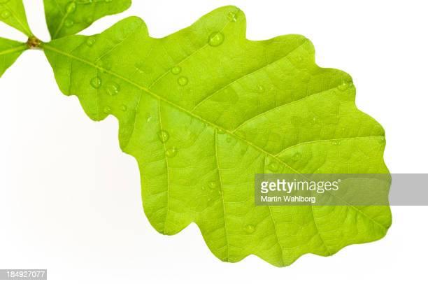 Oak Leaf Macro