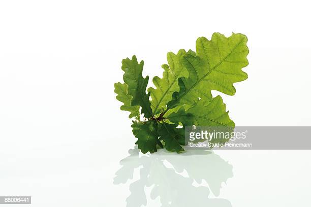 Oak leaves on white background, close-up