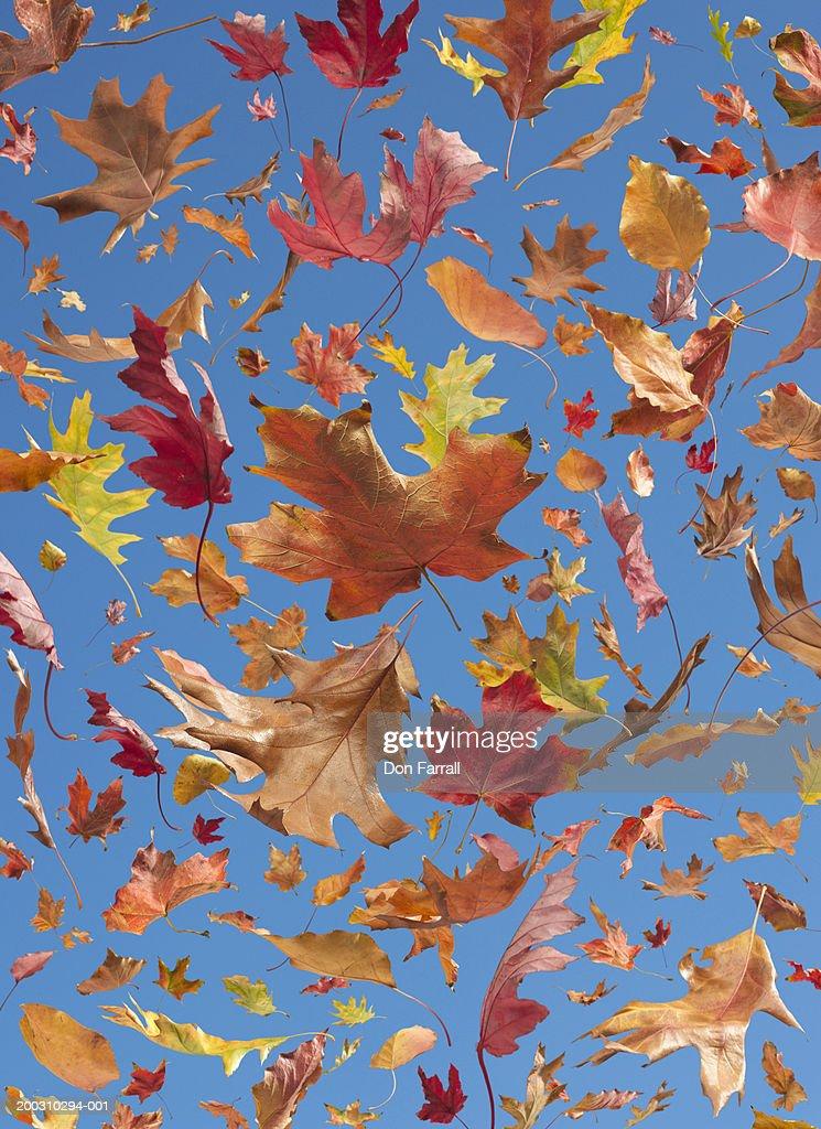 Oak, Maple, Cottonwood and Ash leaves floating on blue background