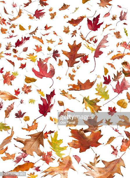 Oak, Maple, Cottonwood and Ask leaves on white background, autumn