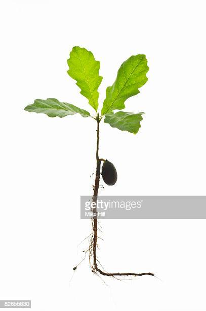 Oak sapling against white backround