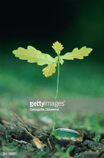 Oak (Quercus sp.) sprouting from acorn, close-up : Stock Photo