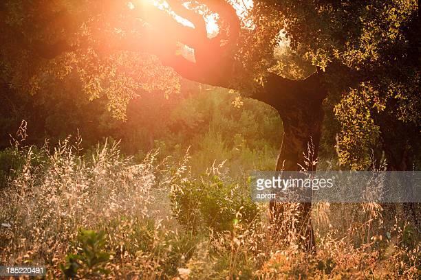Oak Tree アゲインスト夜の太陽
