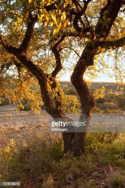 Oak tree at sunset in Texas hill country