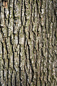 Texture of an oak tree bark