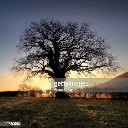 Oak Tree, Glastonbury : Stock Photo