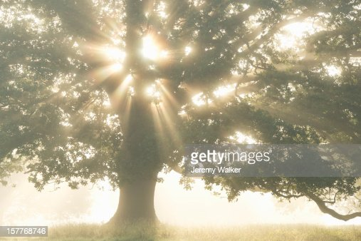 Oak tree in a misty meadow at sunrise in summer